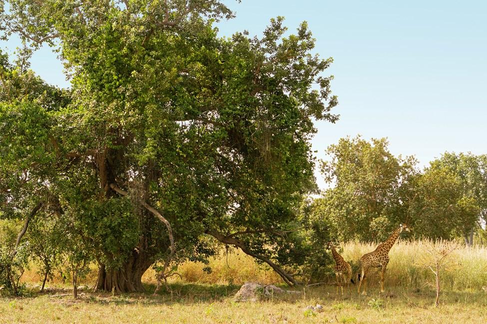Fathala Wildlife Reserve, utflukt Senegal–Gambia