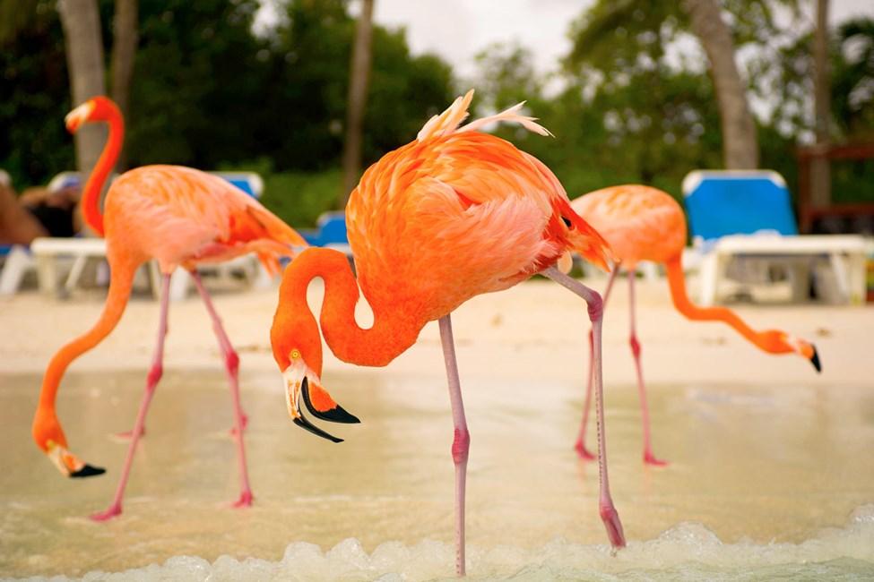 Flamingo Beach Renaissance Island